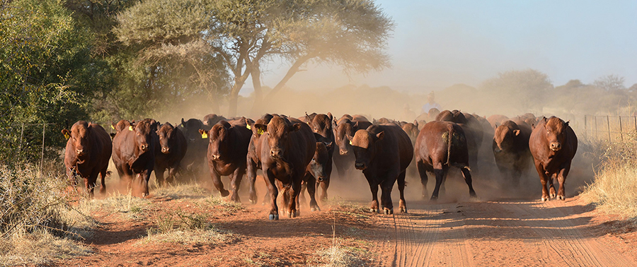 cattle a custodial heritage of zimbabwe � part 13�closer