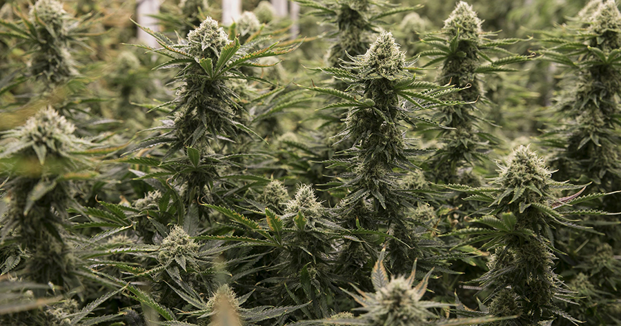 The history of cannabis in Zimbabwe   Celebrating Being
